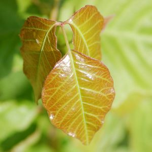 Lots of photos of poison ivy from seedling to maturity. Identify and be safe!  Picture of an orangy poison ivy leaf. - David Beaulieu