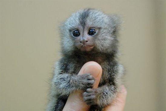pygmy marmosets: Baby Monkey, Finger Monkeys, Fingermonkeys, Baby Animal, Tiny Monkey, Fingers Puppets, Pygmy Marmoset, Adorable Animal, Fingers Monkey