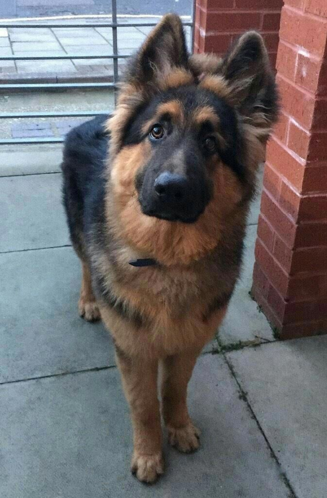 The many things I adore about the brave German Shepherd Dogs #germanshepherdstyle #germanshepherdpuppyforsale #germanshepherddog