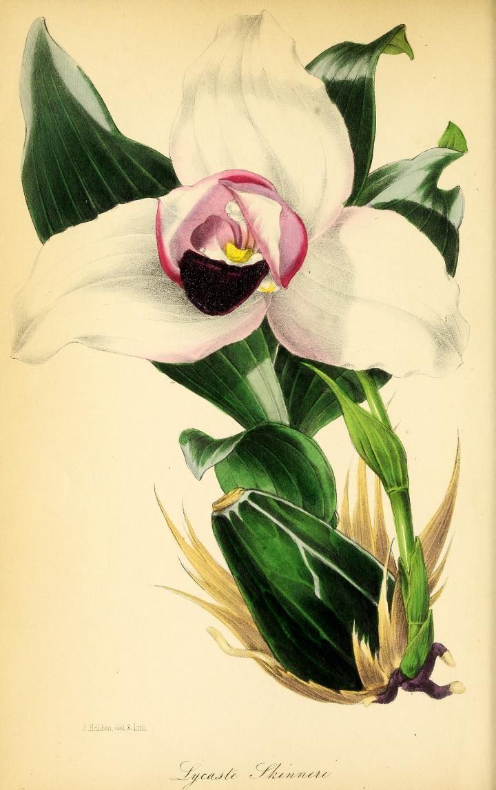v.11 (1845) - Paxton's magazine of botany, - Biodiversity Heritage Library