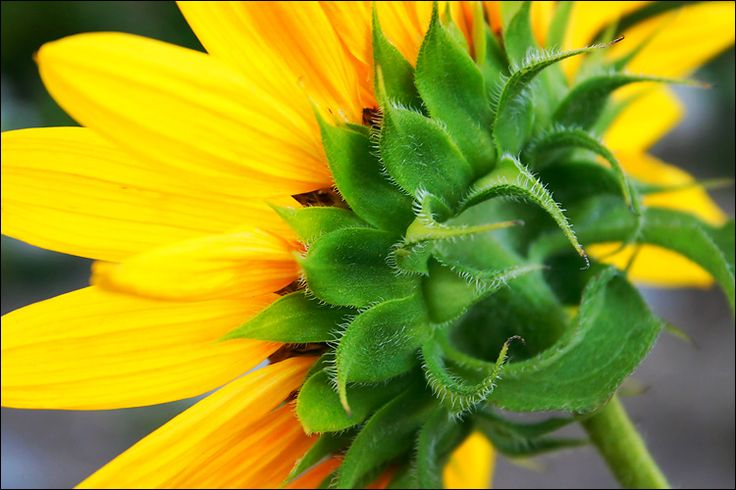 sunflower || canon 300d/kit lens | 1/100s | f7.1 | ISO 400 / Daily Dose of Imagery