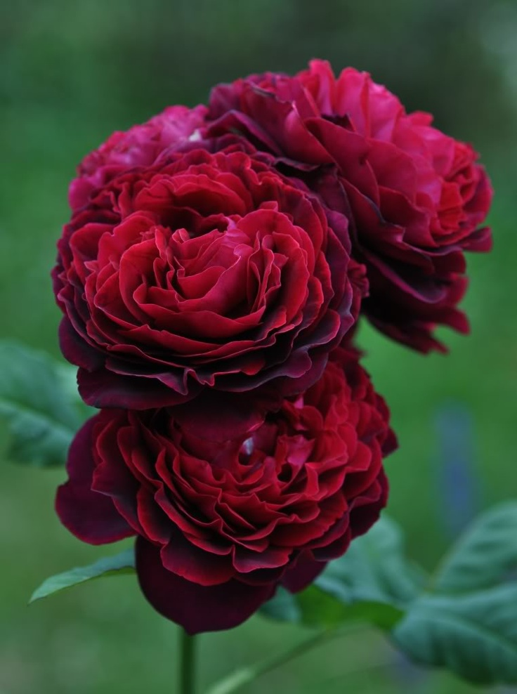 Mostly English Roses - Rose Gallery Forum - GardenWeb