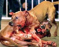 "PLEASE SIGN THIS PETITION & SHARE W/ EVERYONE!  Although the nasty & cruel crime is illegal in all 50 states, it is still occurring everywhere, everyday. Most perpetrators use small dogs, picked out from ""free to good home"" advertisements, for baiting. Baiting is when they put the small dog in the center & turn the fighting dogs on it to tear it up & in return, tear each other up. Dog fighting is done for fun, gambling &  drugs. This is beyond disgusting!!!"