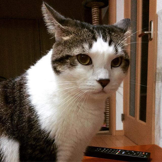 いか耳👂 #スコティッシュフォールド#立ち耳スコ #折れ耳スコ #猫のいる暮らし#愛猫#にゃんすたグラム #猫大好き #猫ちゃん #インスタキャット #仲良し#ハチワレ#廊下#まったり#にゃあ〜#しっぽ#ふわふわ#モフモフ#友達#ニャルソック#猫背#ごろん#洗濯物#きりりとした目#スコ座り#重い#エジプトキャット#猫の置き物#はるのあし#被り物#うさちゃん