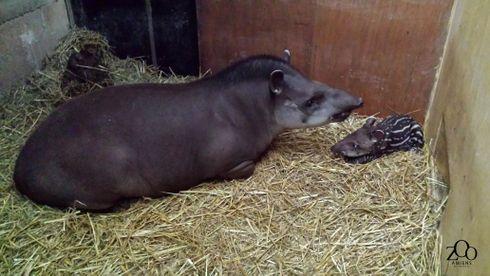 Naissance d'un tapir terrestre au Parc zoologique d'Amiens Métropole