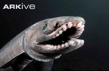 Frilled shark showing specially adapted teeth