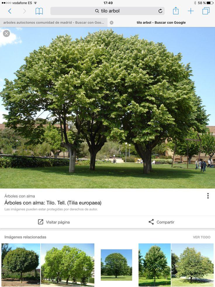 M s de 1000 ideas sobre rboles de crecimiento r pido en for Arboles sombra jardin