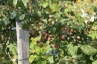 Fruits et verger - Palisser le framboisier