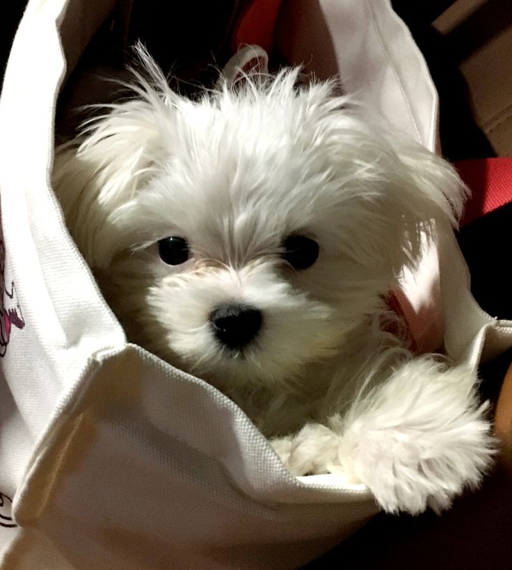 Don't know the breed (malti-poo maybe?), definitely adorable