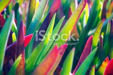 Wild Aloe Background Royalty Free Stock Photo