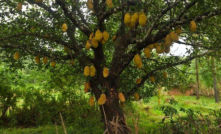 Jackfruit  (Photo by Rajan Parrikar)