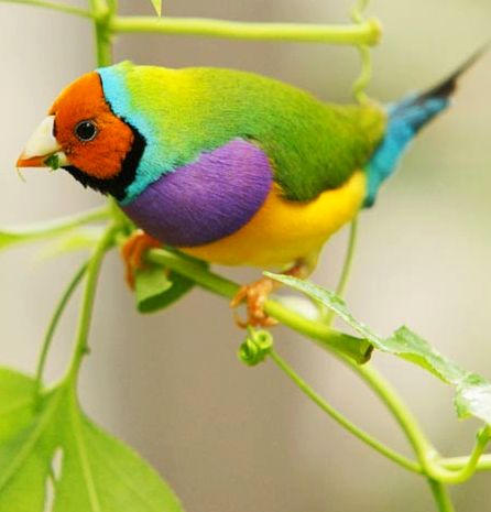 Gouldian finch (Erythrura gouldiae) The many colors of nature!
