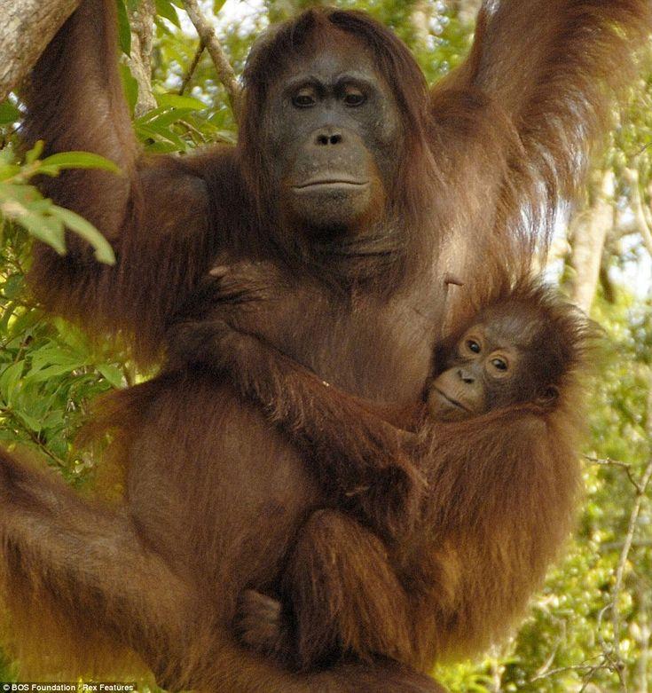 10 Best Help GFAS To Help Ape Sanctuaries In Asia! Images