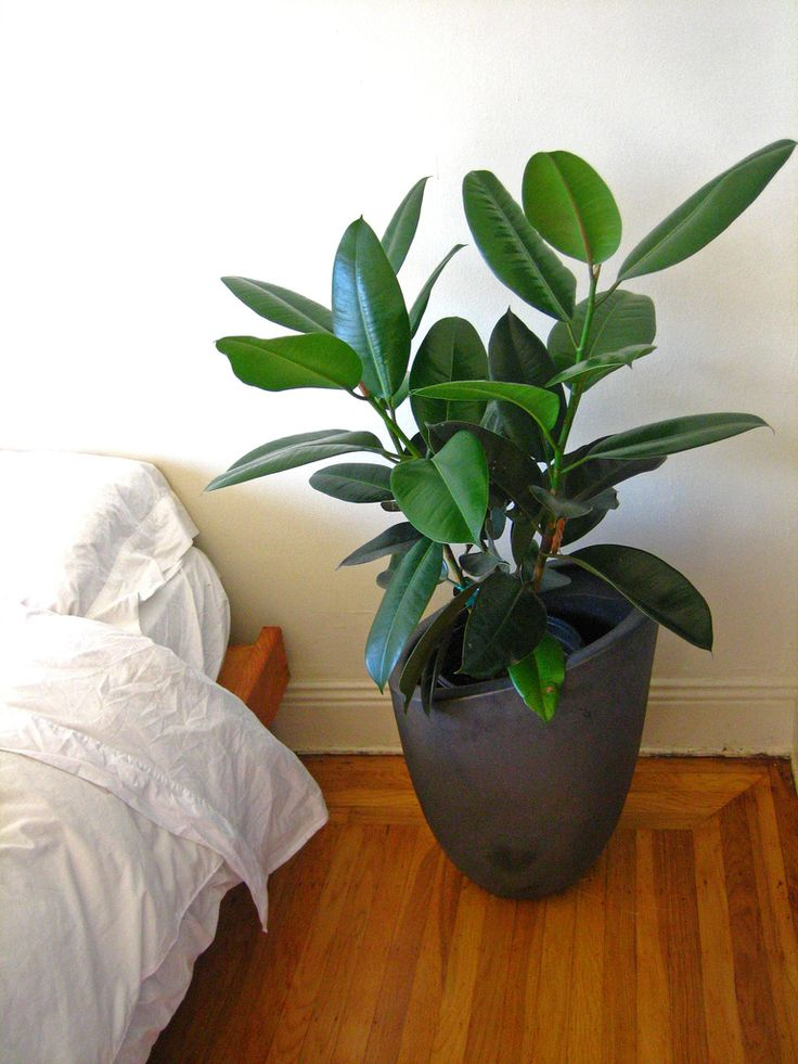 Ficus elastica — you gotta love this plant! Mine has grown a lot and I love having a medium size plant that I don't have to stress about.
