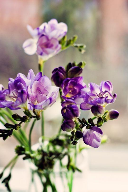 нормальным фото фиолетовая фрезия в саду нее