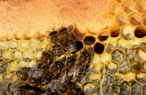 One of The Many Propolis Benefits: Possible Cure for AIDS  Read more: http://undergroundhealthreporter.com/propolis-benefits#ixzz2V9JrtNZV