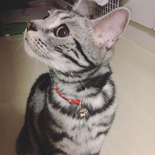 #vivi #ビビりのビビ #アメショー #アメショ #アメリカンショートヘア #American Shorthair #AmericanShorthair #愛猫 #猫 #ネコ #ねこ #猫写真 #ねこすたぐらむ #ねこ部 #cat