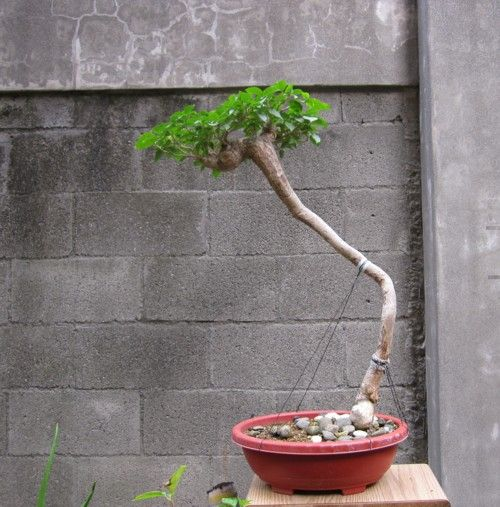 bougainvillea exposed root