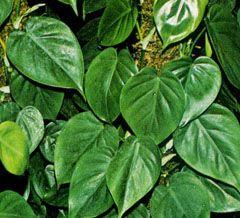 Las 25 mejores ideas sobre filodendro en pinterest for Planta filodendro