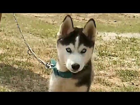 Siberian Husky Blue Eyes Black White For Sale In India Huskies