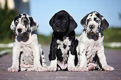 Inverse Oreo Great Dane Dogs Dane Puppies Dane Dog
