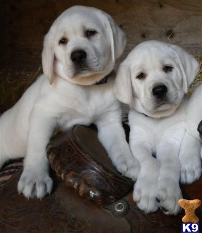 Too cute!: God Beautiful, Best Friends, Chocolate Labs, Chocolates Labs Puppys, White Labs Puppys, Labrador, Blondes Labs, Beautiful Creatures, Animal