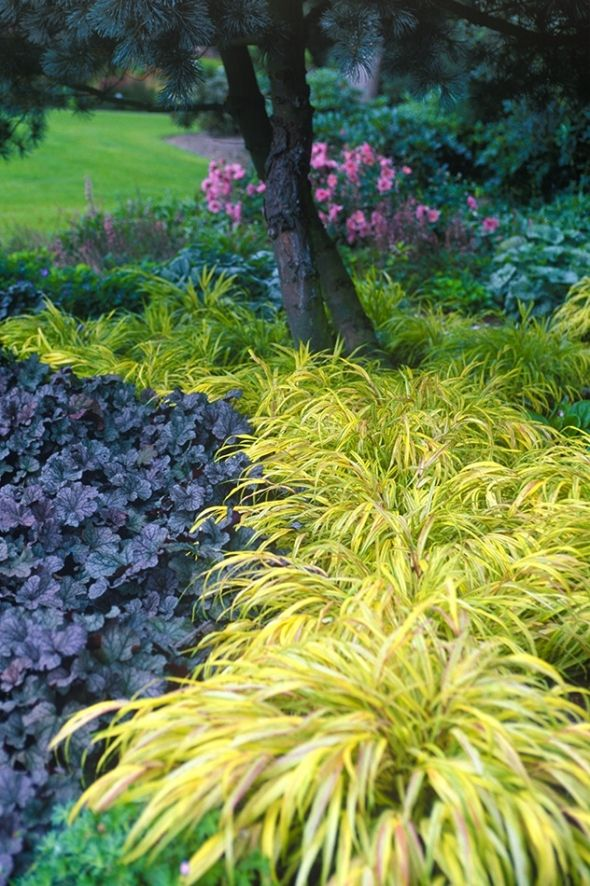 """A stream or river of Hakonechloa macra Aureola (similar to H.m. Alboaurea) designed by Adrian at the zu Jeddeloh """"Blooms"""" garden in northern Germany. This flows towards and around the base of a Japanese Pine, to the left is one of the best of Heucheras, H. Silver Scrolls, the pink beyond a Japanese Anemone, A.x hybrida Party Dress."""