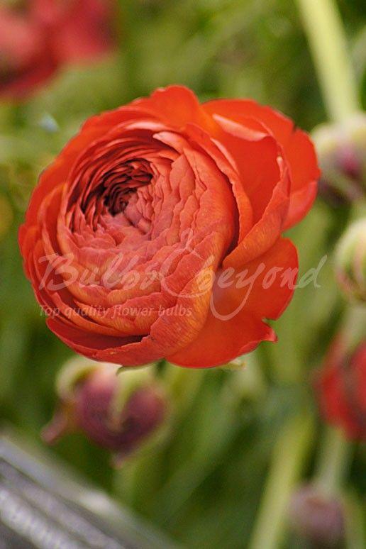 Ranunculus - Orange