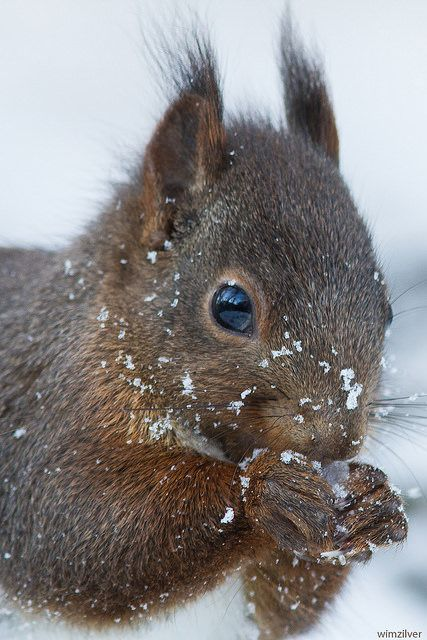 Red Squirrel ......Rode eekhoorn | Flickr - Photo Sharing!