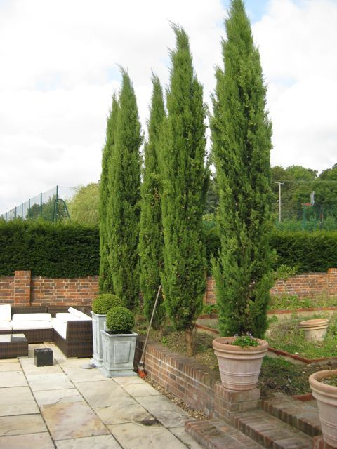 Cupressus pyramidalis before a visit by Architectural Plants