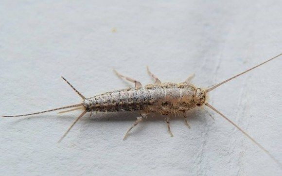 Check Out Safari Pest Control Llc S Facebook Post Silverfish Get Rid Of Silverfish Insects