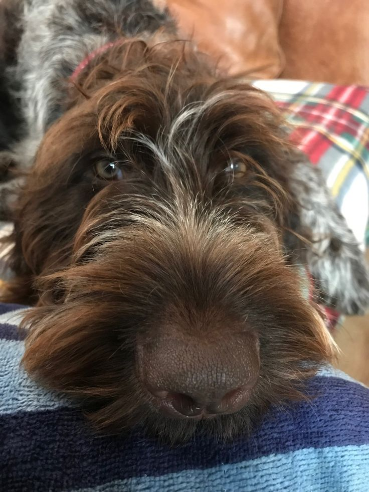 Pin by john maccarthy on chester the german wirehaired