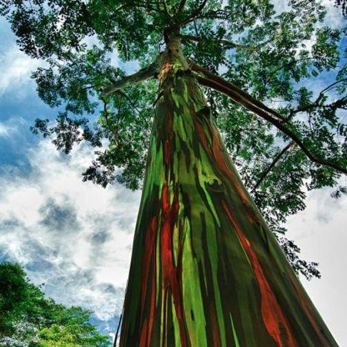 La pianta di Eucalipto Arcobaleno (Eucalyptus Deglupta)èun albero maestosooriginario delle foreste pluviali del sud est Asiatico (Filippine,Indonesia, Hawaii). In natura cresce molto velocemente raggiungendo i 70 metri di altezza, ma è solo crescendo che la corteccia si fessura con la particolare caratteristicadi possedere venaturecolorate che si intersecano tra di loro nei toniblu, viola, rosa, giallo, …