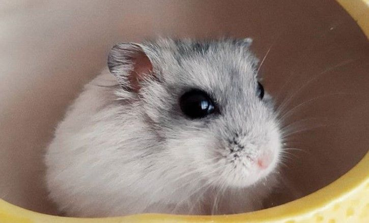 Top 200 Most Punny And Funny Hamster Names With Images