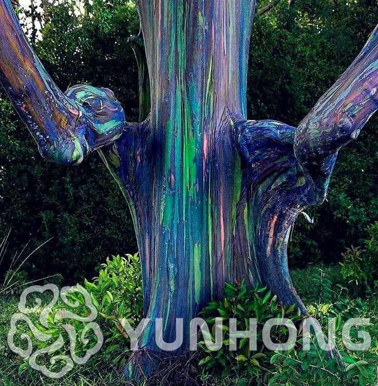* RAINBOW BOOM * 100 zaden * (Eucalyptus deglupta) * Mindanao Gom boom zaden rare boom zaden voor tuin voor huis en tuin in * RAINBOW BOOM * 100 zaden * (Eucalyptus deglupta) * Mindanao Gom boom zaden rare boom zaden voor tuin voor huis en tuin van   op AliExpress.com | Alibaba Groep