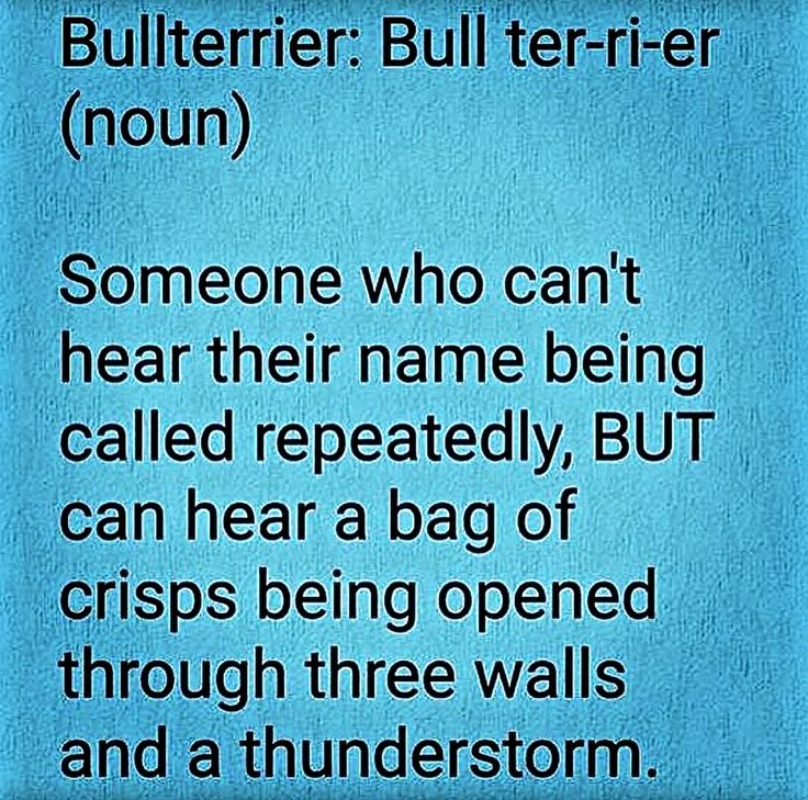 Definition of an English  Bull Terrier
