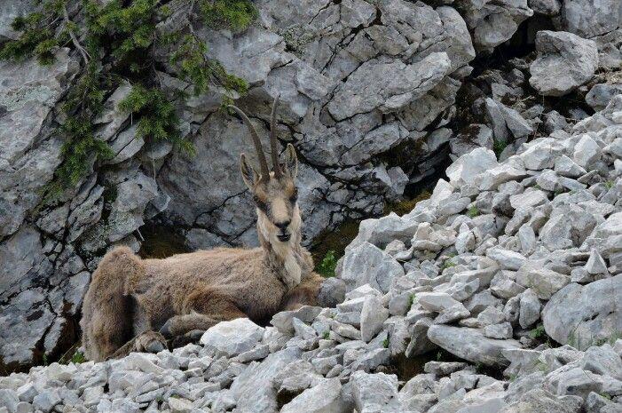 Rupicapra ornata (Camoscio d'Abruzzo) - Parco Nazionale  d'Abruzzo Lazio e Molise