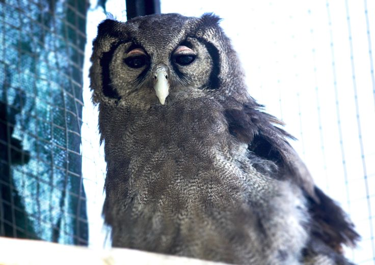 Read about our latest addition to the DAKTARI family - Valerie the owl