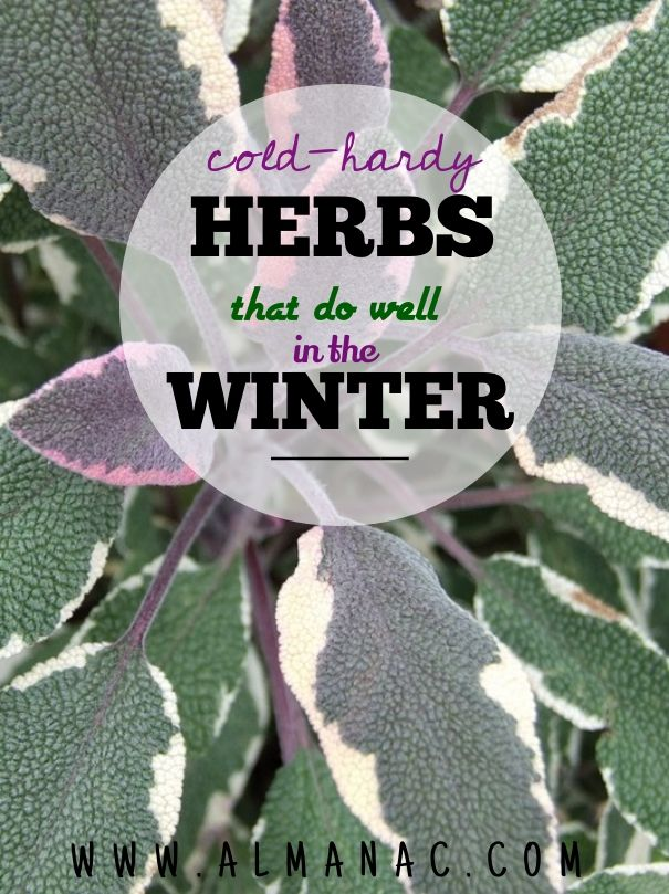 Cold-hardy herbs that do well in the winter || The Old Farmer's Almanac