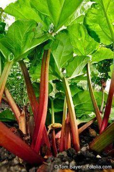 Rhabarber - Tipps zum Anbau und zur Ernte vom Gartenratgeber