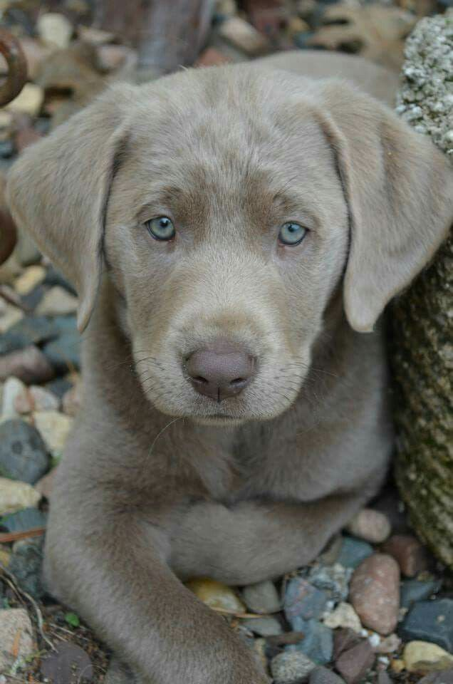 Pin By The Crazy Dog Mom On Cute Animals Silver Labrador Silver Lab Puppies Cute Animals