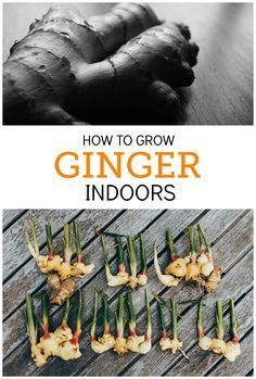 How to Grow an Endless Supply of Ginger Indoors