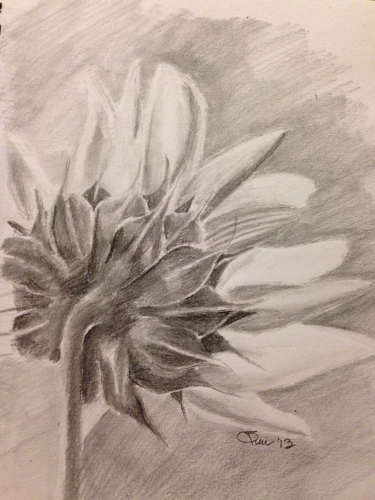 Drawings Of Sunflowers In Pencil 98 best Drawing - Sunf...