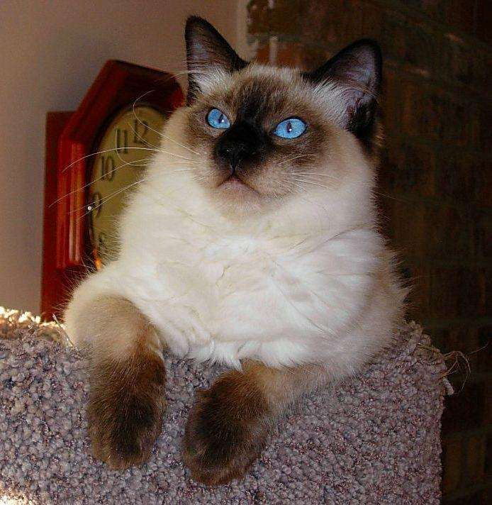 List of Hypoallergenic Cat Breeds | Best Cats for People With Allergies