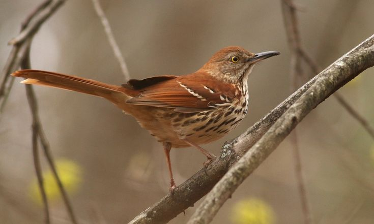 Brown Thrasher - Introduction   Birds of North America Online