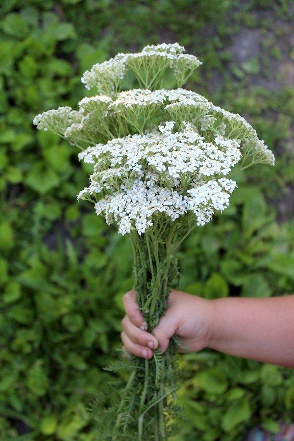 Foraging And Using Yarrow Achillea Millefolium Achillea Millefolium Achillea Yarrow