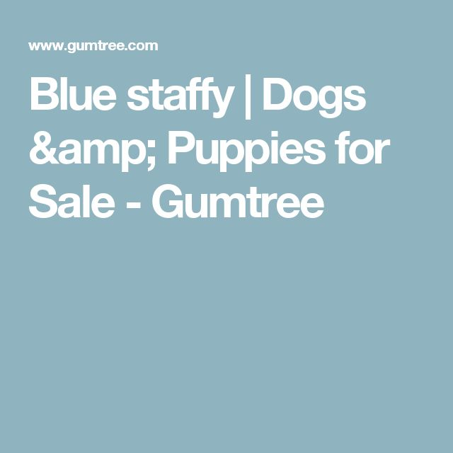 Blue staffy   Dogs & Puppies for Sale - Gumtree