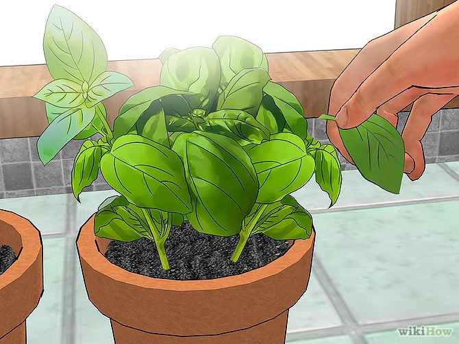 Probably the easiest herb to grow indoors - basil!