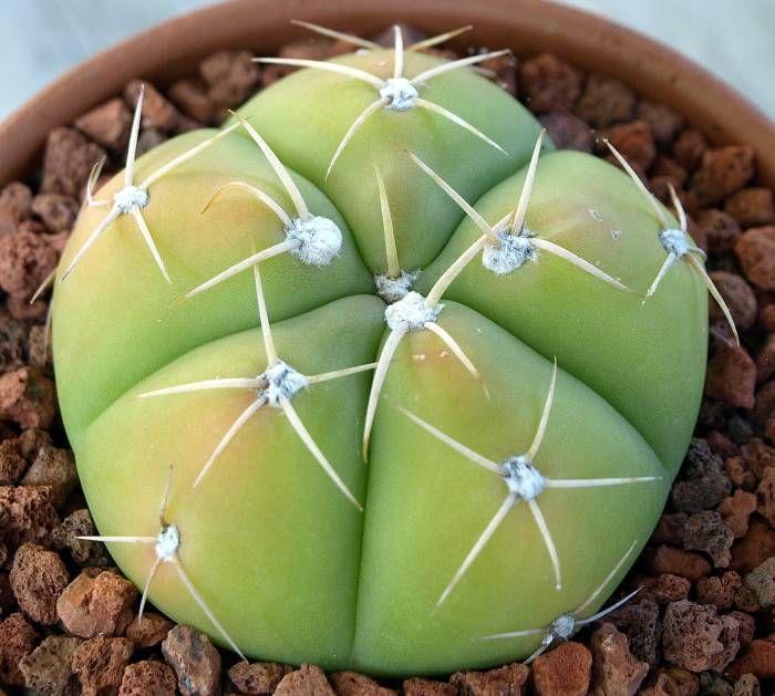 Gymnocalycium horstii [Family: Cactaceae]