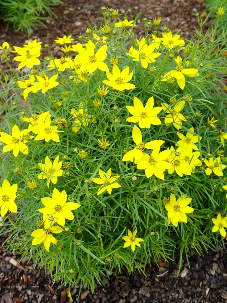 23 best blue and yellow garden plants and iris list images on coreopsis verticillata zagreb threadleaf tickseed 2014 blocks front flower bedslandscaping plantsyellow mightylinksfo